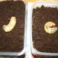 ゴロファ・ピサロの幼虫