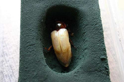 初めての人工蛹室