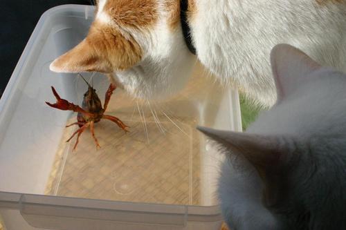猫とザリガニ