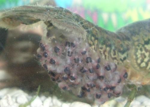 孵化したザリガニ