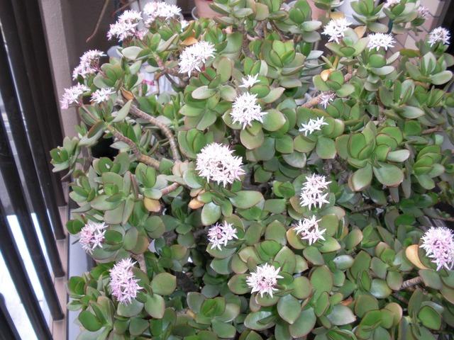 金の成る木の花