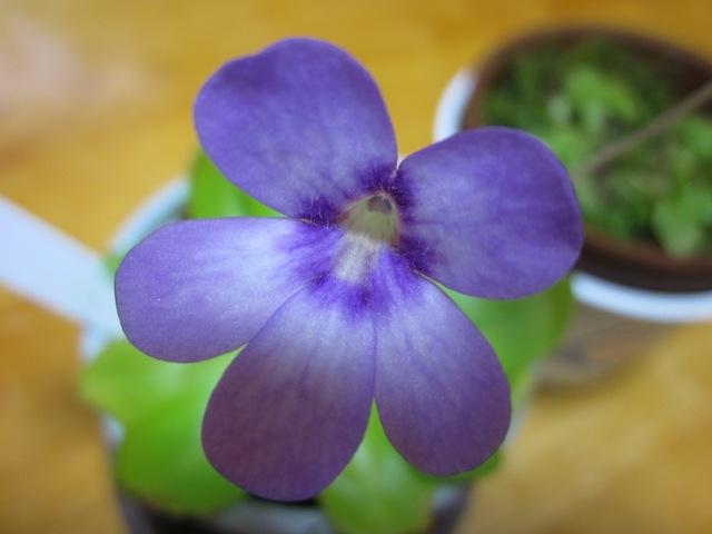 ムシトリスミレの花